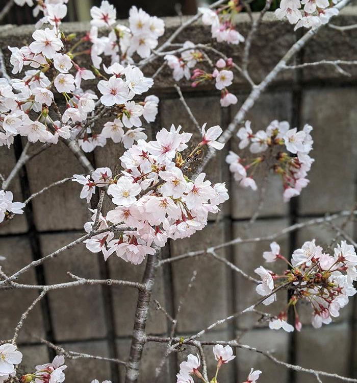 満開の桜に おもう事・・・