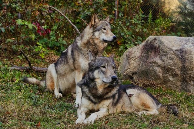 心の中の二匹のオオカミ
